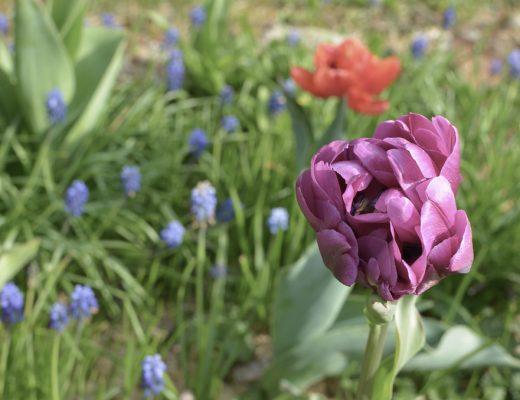 Blumengarten-tulpen-garten