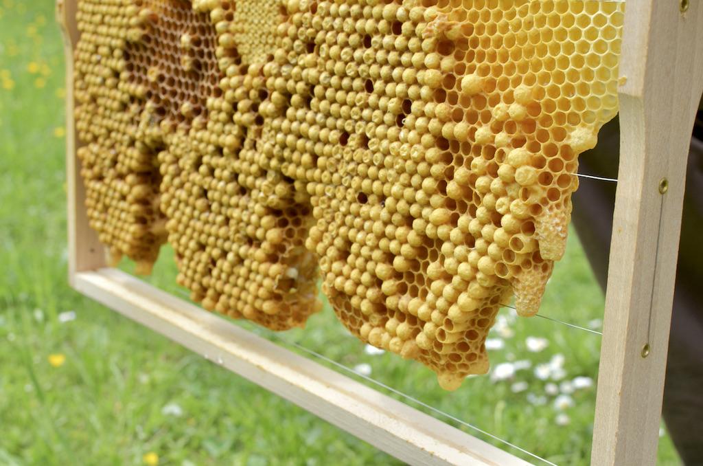 Bienenschwarm_brutwabe