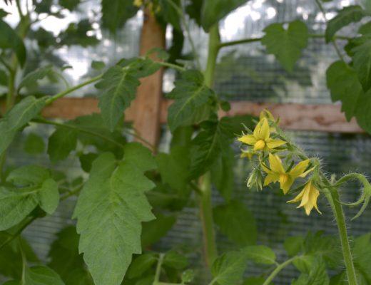 gemuesegarten_tomatenhaus